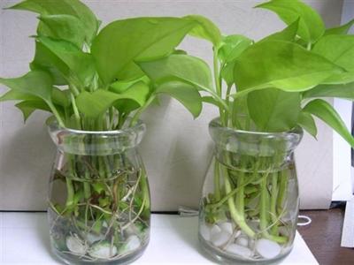 室内盆栽大叶植物图片内容室内盆栽大叶植物图片