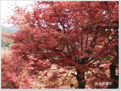 【粉多小旅行】2014台灣楓葉季 – 賞楓必遊景點推薦 錦 胡