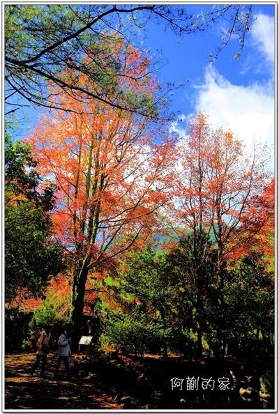 【粉多小旅行】2014台灣楓葉季 – 賞楓必遊景點推薦 貴賓紅