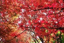【粉多小旅行】2014台灣楓葉季 – 賞楓必遊景點推薦 吟姿 林