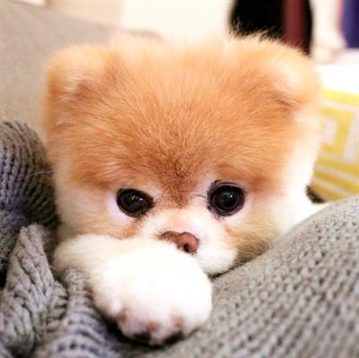 boo 粉丝团宠物的名字 boo 喜欢的原因 像绒毛娃娃一样超级可爱跟疗郁