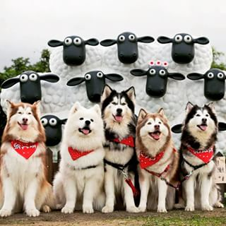 几乎有养宠物的人都认识了这个哈士奇家组了,而且每一只都好可爱喔.