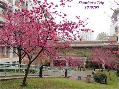 【2016 櫻花祭】全台最佳賞櫻地點大募集 妮妮 蔣