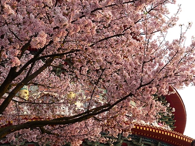 【2016 櫻花祭】全台最佳賞櫻地點大募集 米樂唐