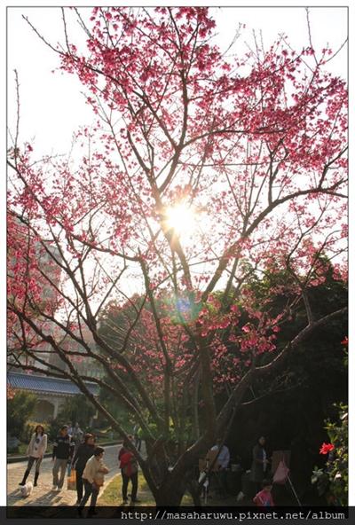 【2016 櫻花祭】全台最佳賞櫻地點大募集 黃月亮