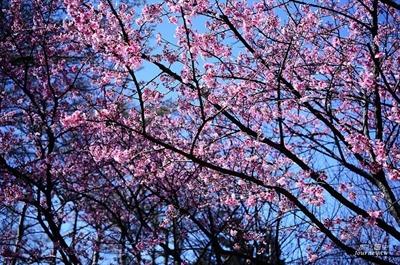 【2016 櫻花祭】全台最佳賞櫻地點大募集 楊 雅筑