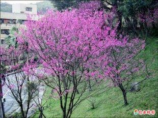 【2016 櫻花祭】全台最佳賞櫻地點大募集 Iris Lee