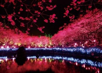 【2016 櫻花祭】全台最佳賞櫻地點大募集 緹 花